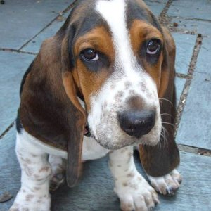 bentley basset hound 01.jpg w450
