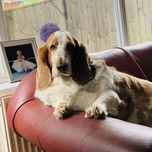 My Beautiful Basset Daisy